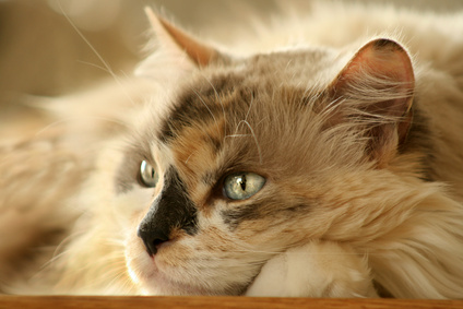 Long Haired Calico Cat