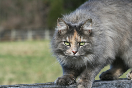 Long-Haired Tortoiseshell Cat