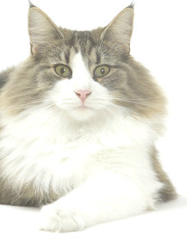 Could this long-haired cat cause road rage?