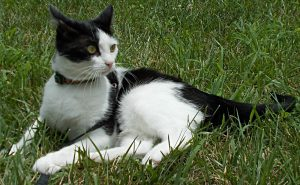 Getting a cat outside on a harness and leash can reduce the risk of feline diabetes.