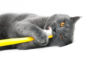 Dental treats for cats are growing in popularity. But nothing works as well as a toothbrush.