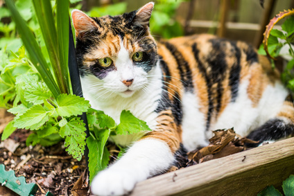 Catnip plants are fun for cats, but silver vine is even better