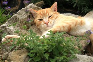 Most cats love catnip, but they love silver vine even more.