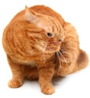 Do you have an itchy cat? Flea allergy dermatitis in cats is on the rise.