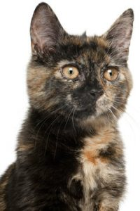 "A study shows cat colors dictate personality, and that could be why this torti has an abundance of ""cattitude."""