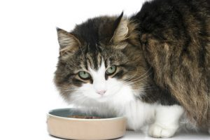 Can cats be vegan? New research says they can.