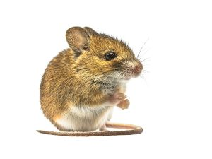 This mouse might be willing to donate a stem cell to make clean meat for cats.